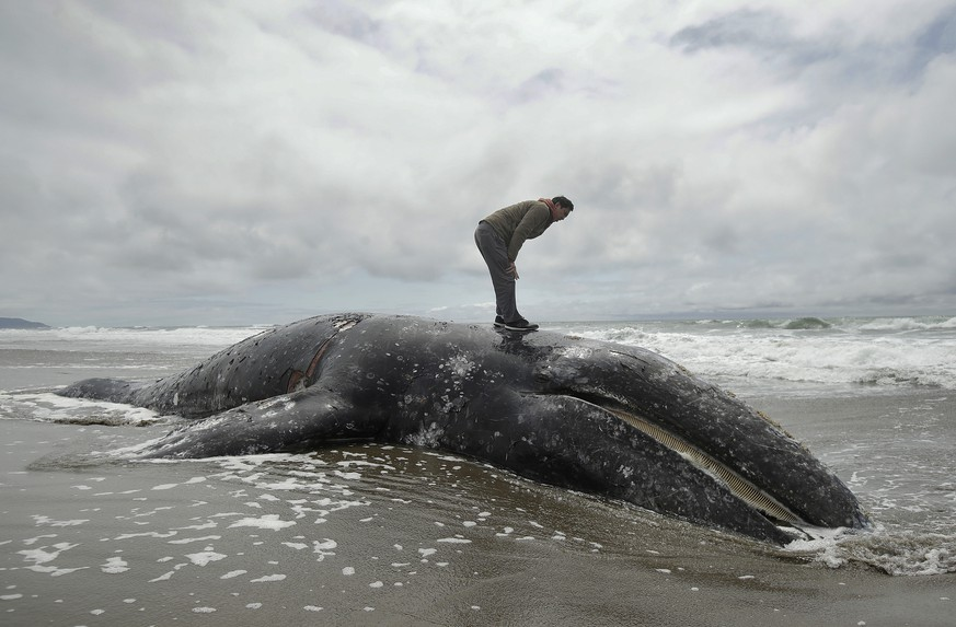 FILE - In this May 6, 2019 file photo, Duat Mai stands atop a dead whale at Ocean Beach in San Francisco. Federal scientists on Friday, May 31 opened an investigation into what is causing a spike in gray whale deaths along the West Coast this year. So far, about 70 whales have stranded on the coasts of Washington, Oregon, Alaska and California, the most since 2000. (AP Photo/Jeff Chiu)
