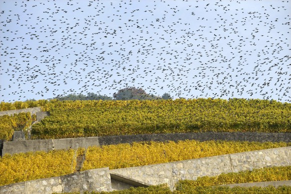 Migratory birds are gathering in a swarm in the vineyard region of Lavaux on the shores of Lake Geneva, in Lutry, western part of Switzerland, Monday, October 13, 2008. The Lavaux Vineyard Terraces have been included into UNESCO's list of world cultural heritage sites in 2007. (KEYSTONE/Laurent Gillieron)