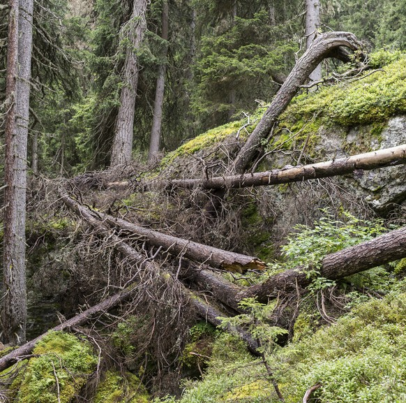 The primeval forest of Scatle near Brigels in the Canton of Grisons, Switzerland, pictured on August 16, 2014. The forest of Scatle is the smallest of three primeval forests in Switzerland and consists of up to 600 year old and 30 meters high spruce. It covers an area of approximately nine hectares and lies between 1500 and 2000 meters above sea level. (KEYSTONE/Gaetan Bally)