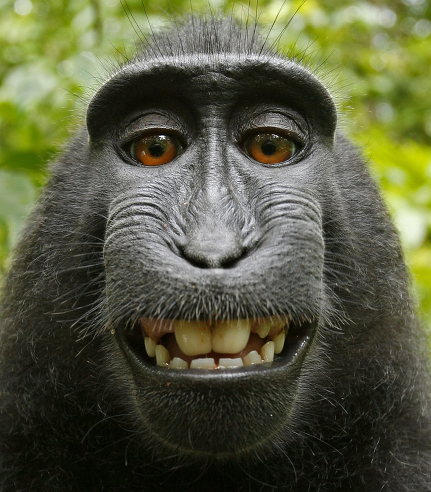 PIC BY A WILD MONKEY / DAVID SLATER / CATERS NEWS - (PICTURED: One of the photos that the monkey took with Davids camera. 2 of 2: This photo was rotated and cropped by the photographer) - These are the chimp-ly marvellous images captured by a cheeky monkey after turning the tables on a photographer who left his camera unmanned. The inquisitive scamp playfully went to investigate the equipment before becoming fascinated with his own reflection in the lens. And it wasnt long before the crested black macaque hijacked the camera and started snapping away sending award-winning photographer David Slater bananas. David, from Coleford, Gloucestershire, was on a trip to a small national park north of the Indonesian island of Sulawesi when he met the incredibly friendly bunch. SEE CATERS COPY.