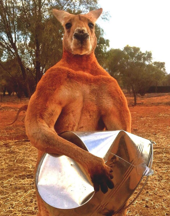 epa07221338 An undated handout photo made available by the Kangaroo Sanctuary, in Alice Springs Australia, showing Roger, the 'buff kangaroo' who became and internet sensation. The Kangaroo Sanctuary reports on 10 December 2018 that Roger has died aged 12 at the Alice Springs sanctuary he called home. Roger rescued as a joey after his mother was killed in a car accident grew up to be a giant among Kangaroos, more than 2m tall and weighing 89kg.  EPA/THE KANGAROO SANCTUARY / HANDOUT AUSTRALIA AND NEW ZEALAND OUT HANDOUT EDITORIAL USE ONLY/NO SALES