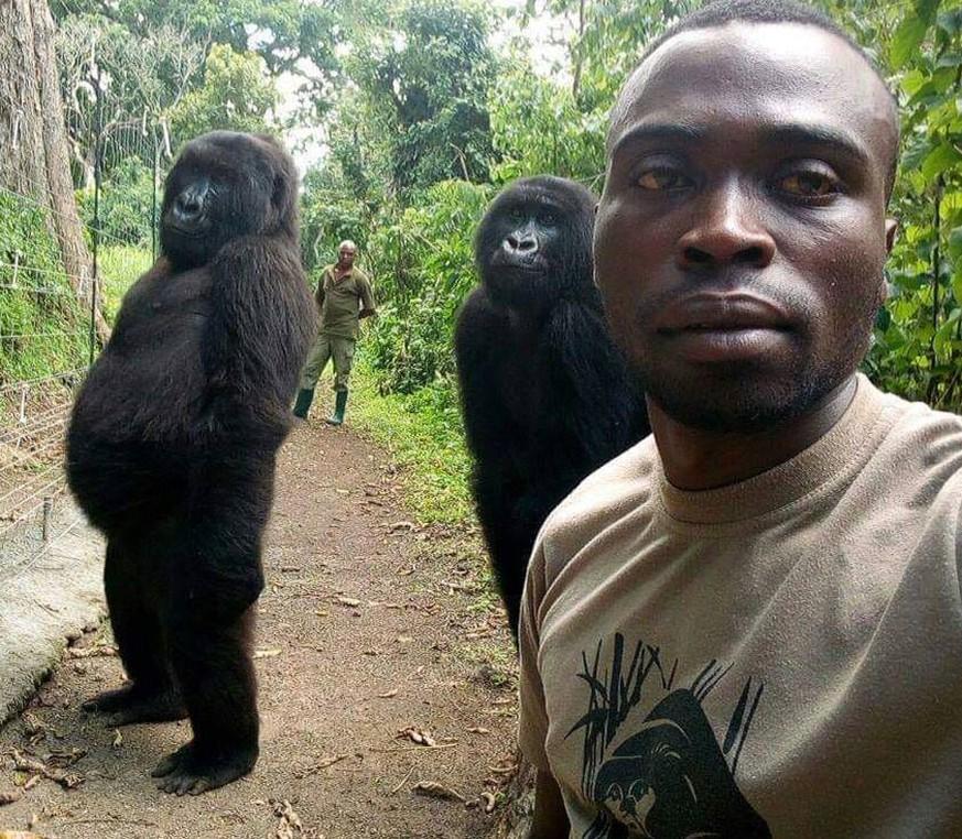 Selfie aus Virunga-Nationalpark: Wieso Gorillas aufrecht posieren