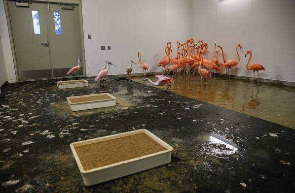 epa06194406 A group of flamingos and spoonbills stay inside a hurricane resistant building at the Zoo Miami, as the conditions deteriorate from Hurricane Irma in Miami, Florida, USA, 09 September 2017. Many areas are under mandatory evacuation orders as Irma approaches Florida.  EPA/ERIK S. LESSER