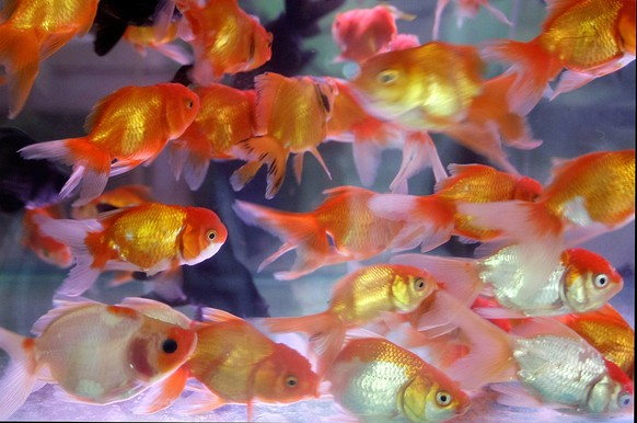 Goldfish is sold in a market in Hanoi, Vietnam, Wednesday, July 15, 2009.  (AP Photo/Chitose Suzuki)