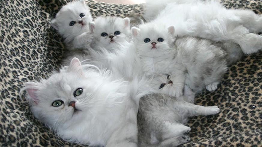 s ss frisch gebackene katzen familie mit babys watson. Black Bedroom Furniture Sets. Home Design Ideas